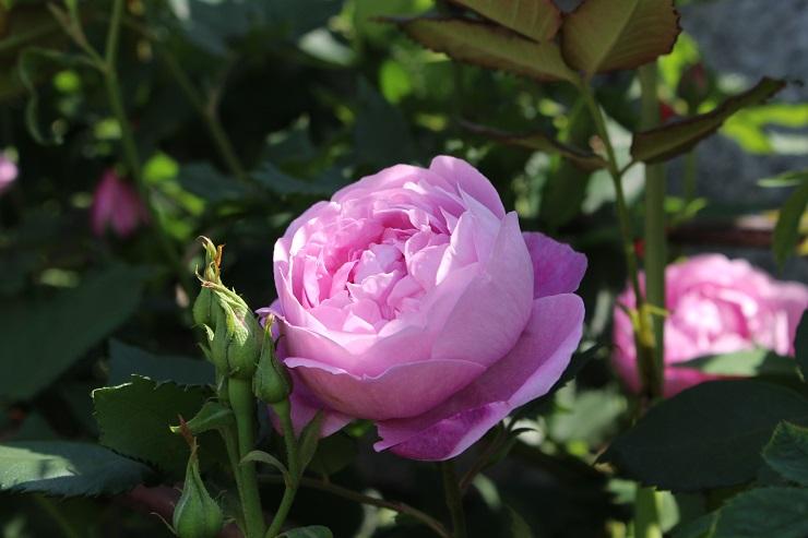 横須賀薔薇1