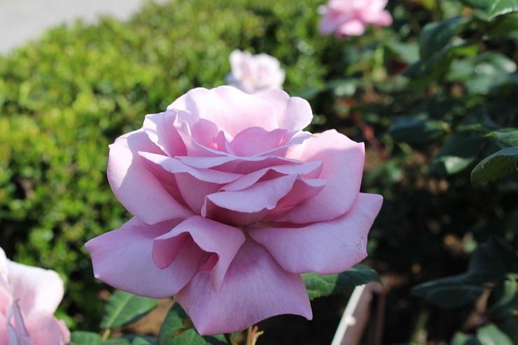 横須賀薔薇園11