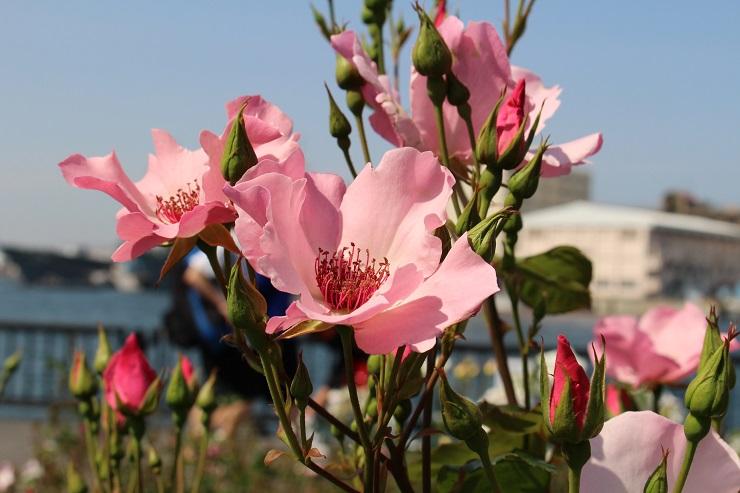 横須賀薔薇園12