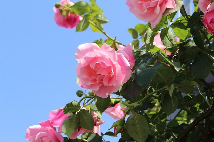 横須賀薔薇園13