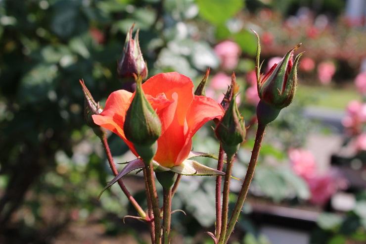 横須賀薔薇3