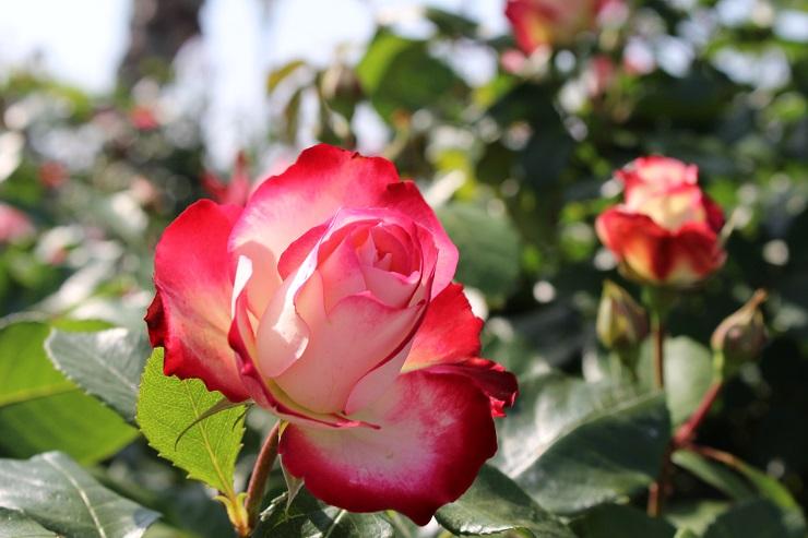横須賀薔薇4