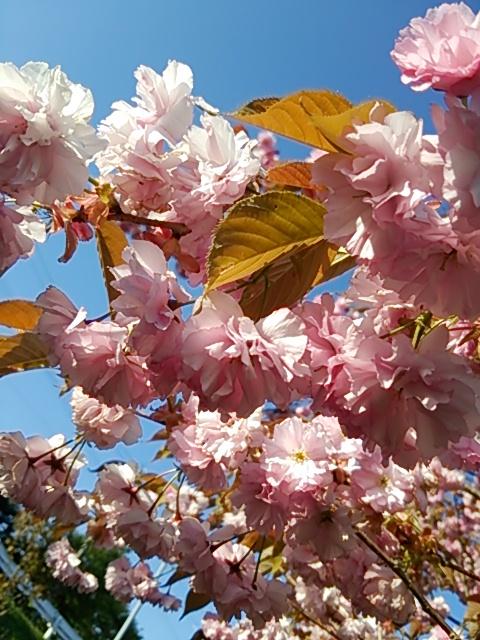 桜DSC_0705