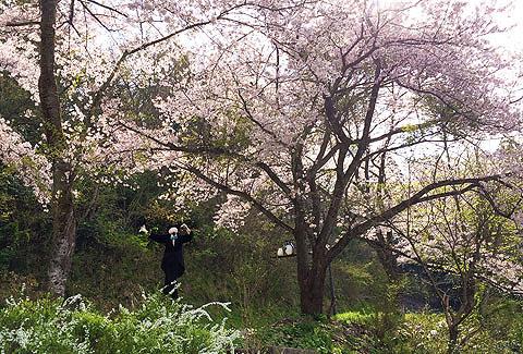 カブと桜③