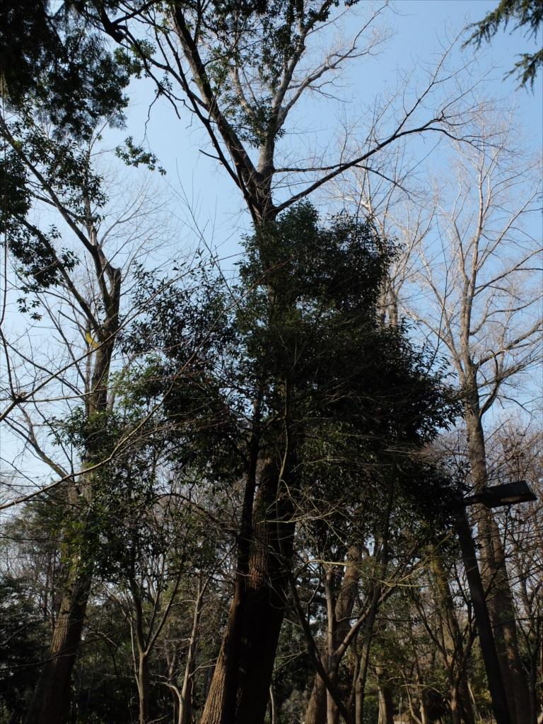 ポプラの大樹_1