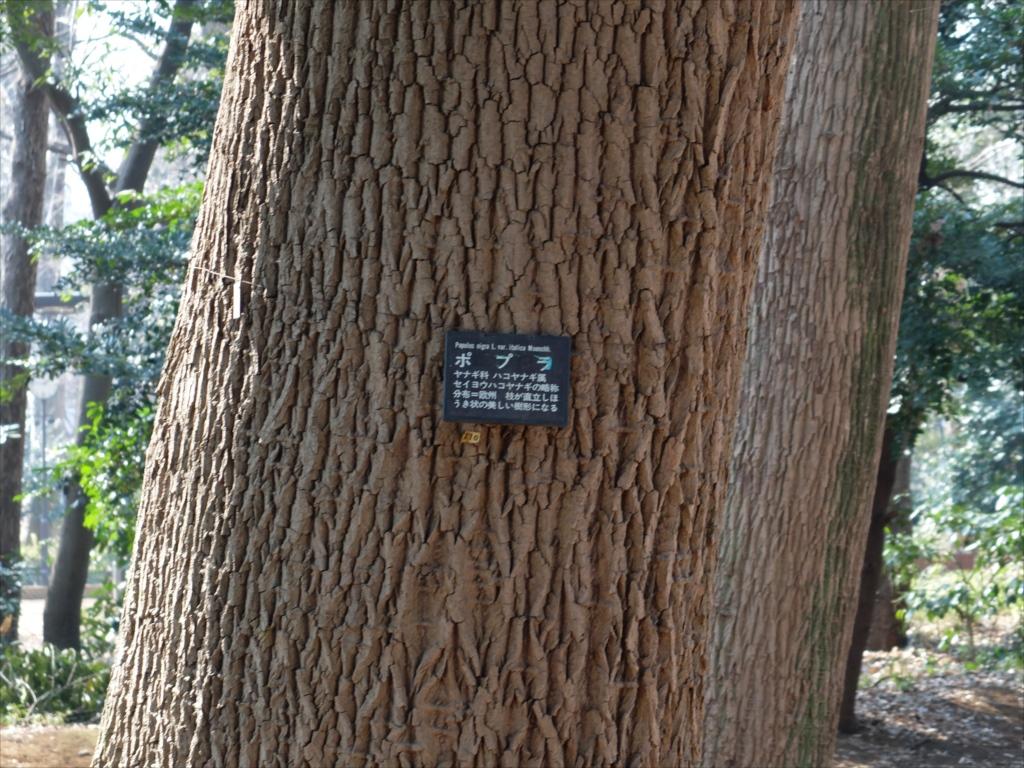 ポプラの大樹_2