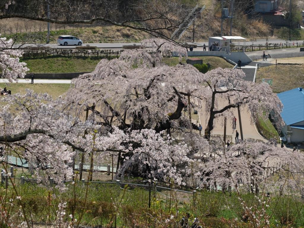 滝桜_17