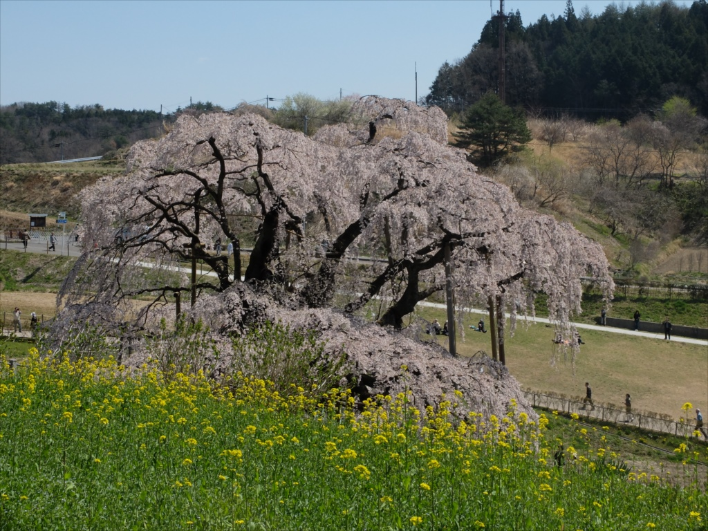 滝桜_18