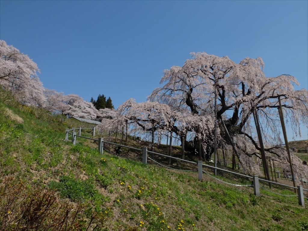 滝桜_21