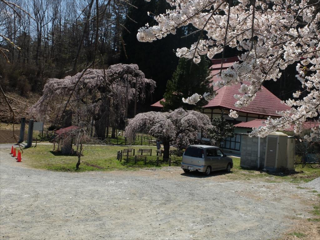 永泉寺の桜全体の様子_1