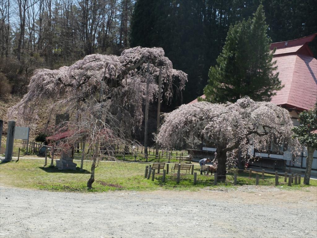 永泉寺の桜全体の様子_2