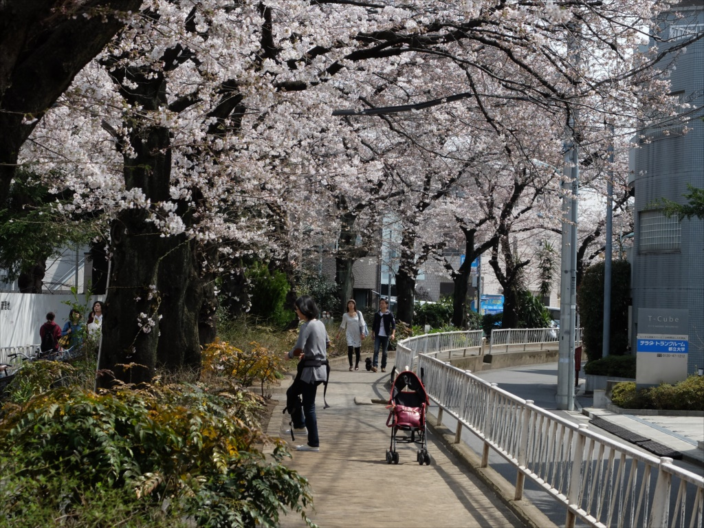 日中の桜_X-20_3