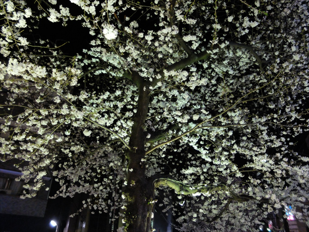 夜間の桜_X-20_5