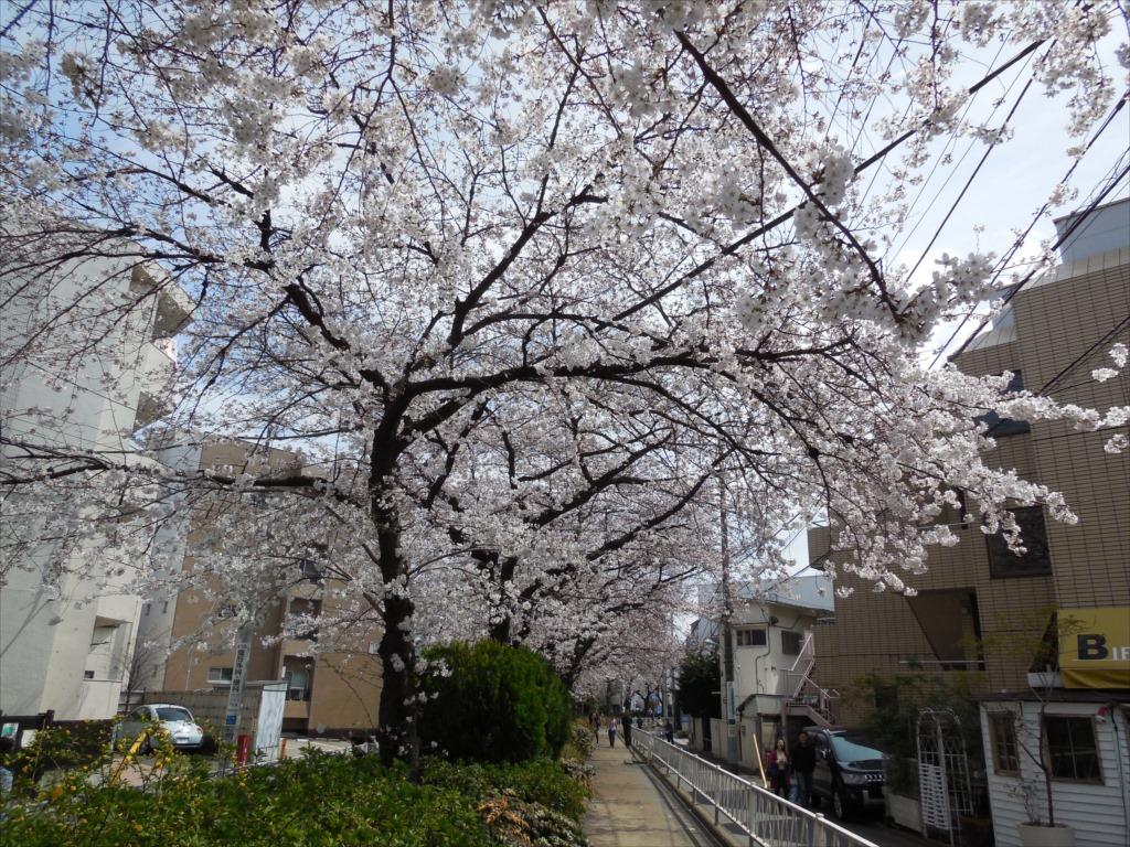 日中の桜_COOLPIX S6500_2