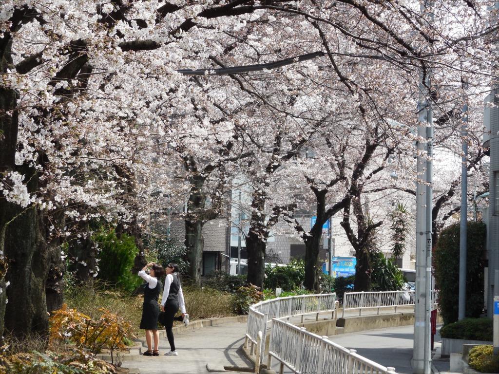 日中の桜_COOLPIX S6500_3