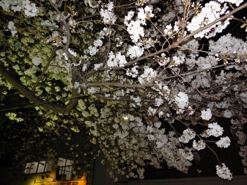 夜間の桜_COOLPIX S6500_3
