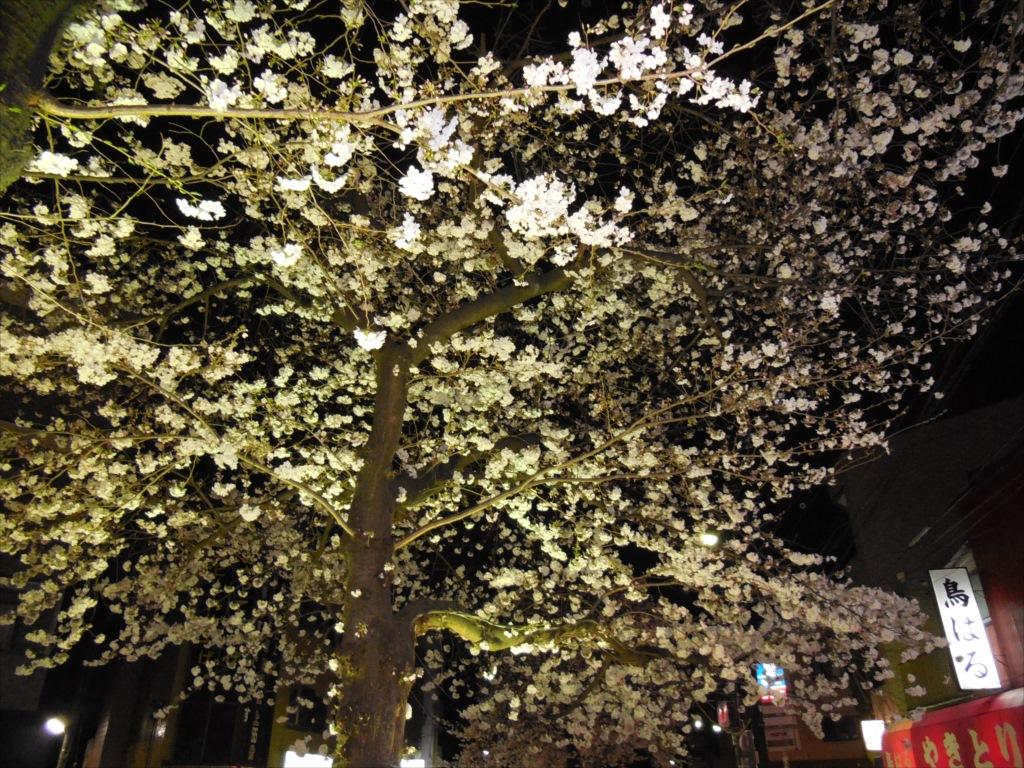 夜間の桜_COOLPIX S6500_4