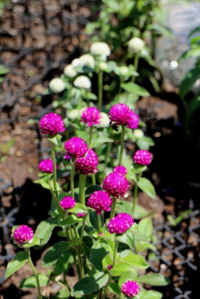 花壇の花_1