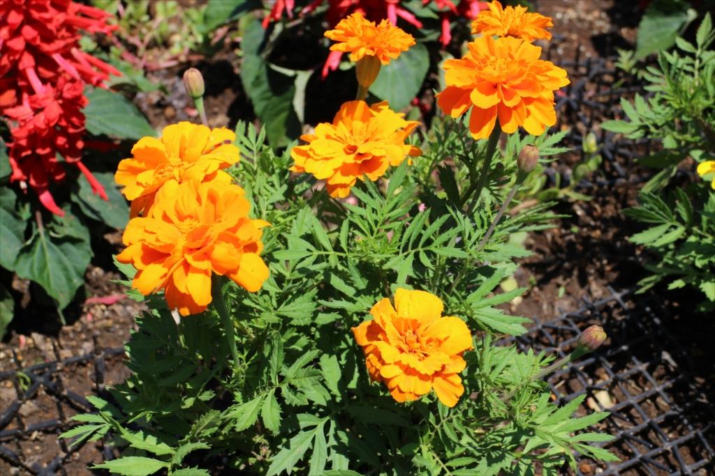 花壇の花_3