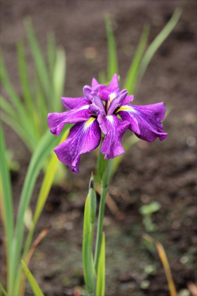 紫山(江戸系)