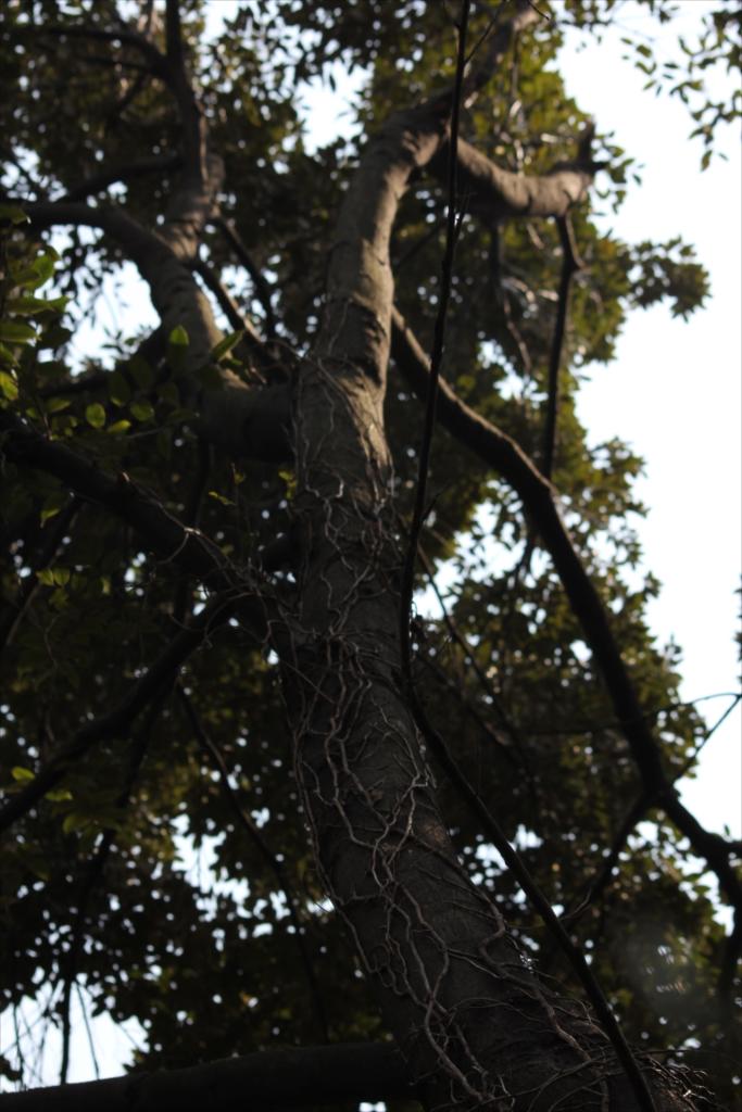 こんなのにひっつかれた樹木もえらい災難だろう_4