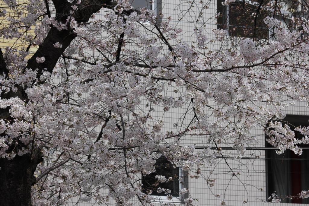 日中の桜_EOS 60D + SIGMA 70-300 F4-5.6 APO DG MACRO_1