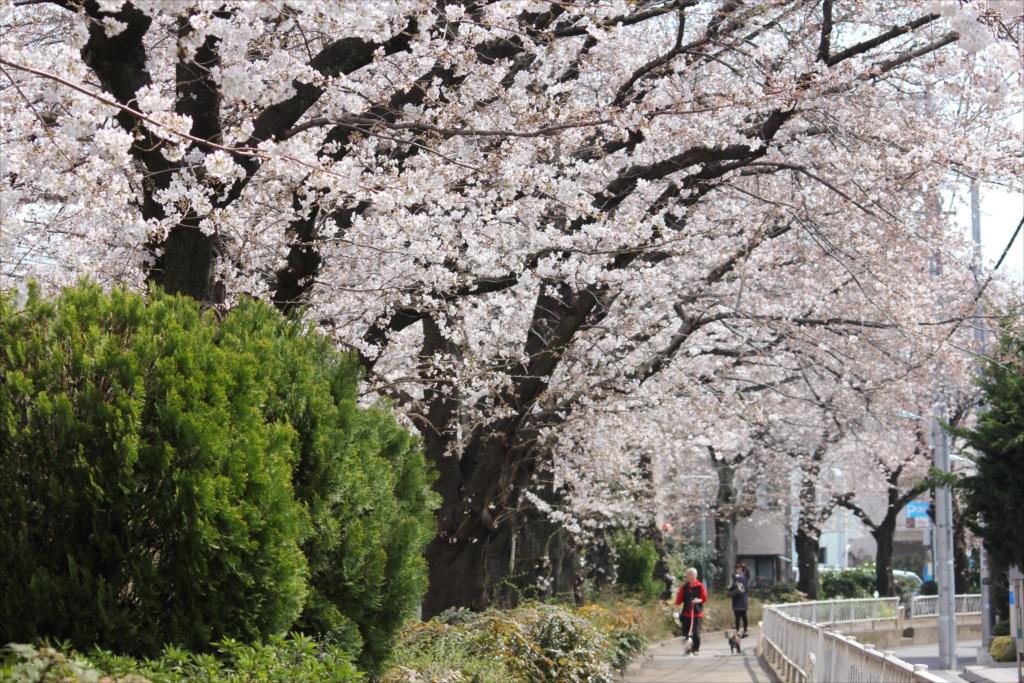 日中の桜_EOS 60D + SIGMA 70-300 F4-5.6 APO DG MACRO_3