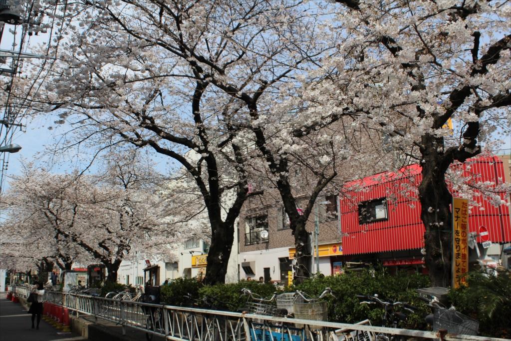 日中の桜_EOS X6i + EF-S 18-55_1