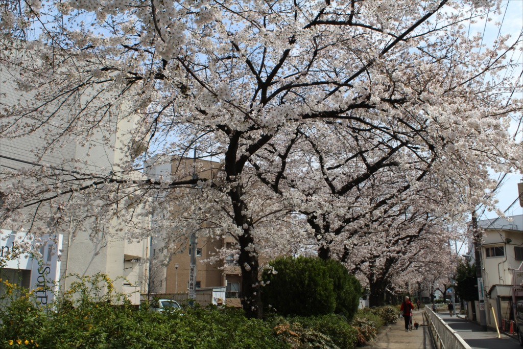 日中の桜_EOS X6i + EF-S 18-55_2
