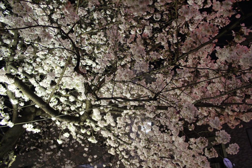 夜間の桜_EOS X6i + EF-S 18-55_3
