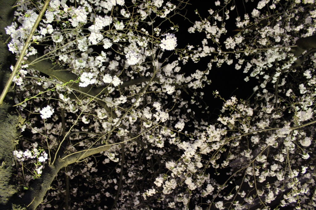 夜間の桜_EOS X6i + EF-S 18-55_5