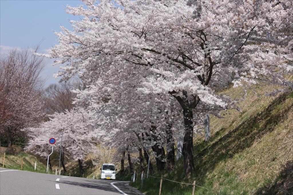 付近の桜も負けていない_1