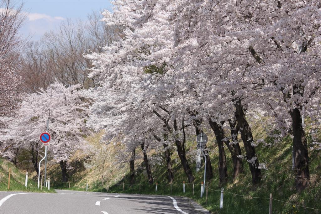 付近の桜も負けていない_2