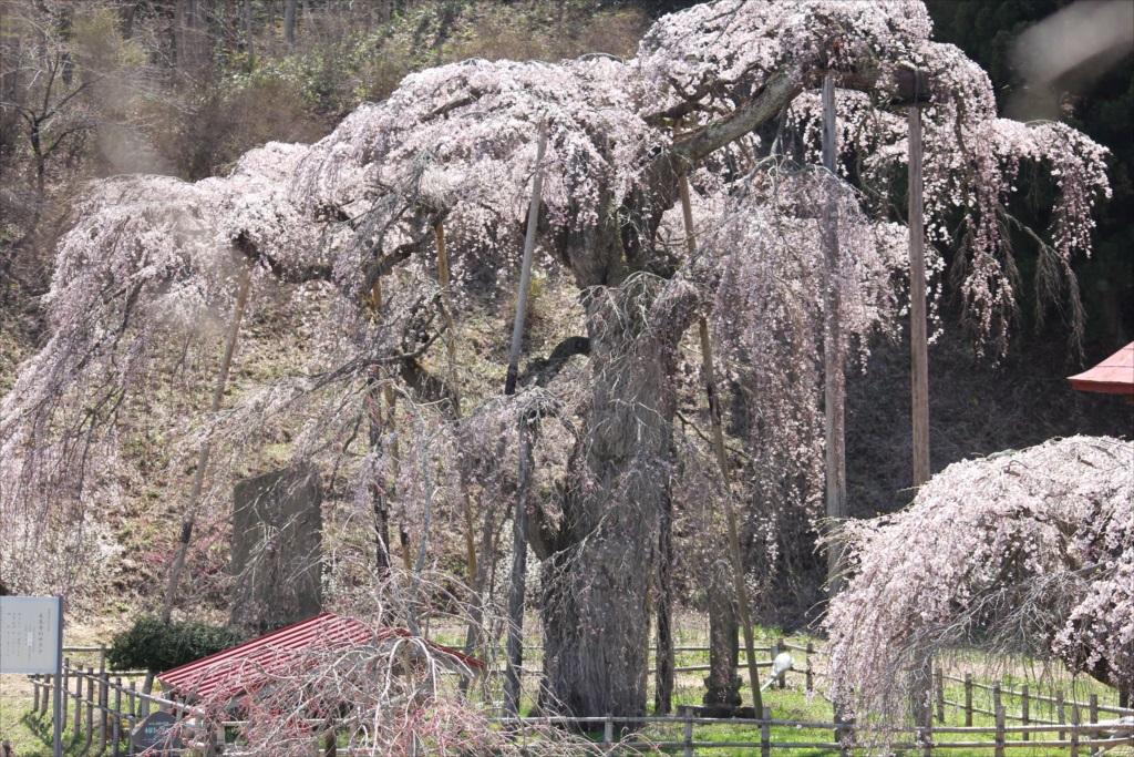 樹齢約400年の大木(福島県の天然記念物)_2