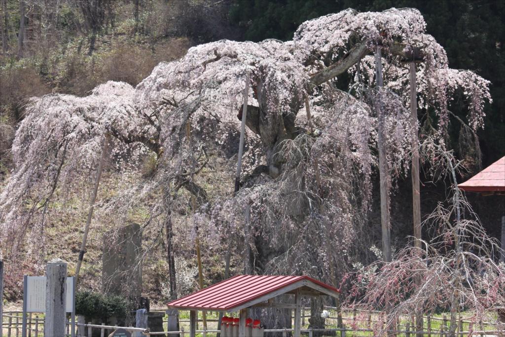 樹齢約400年の大木(福島県の天然記念物)_4