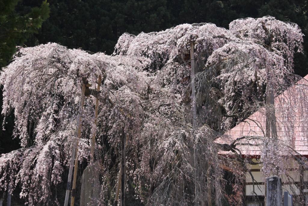 樹齢約400年の大木(福島県の天然記念物)_5