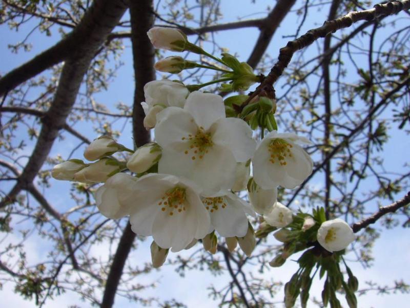 馬の山公園の桜