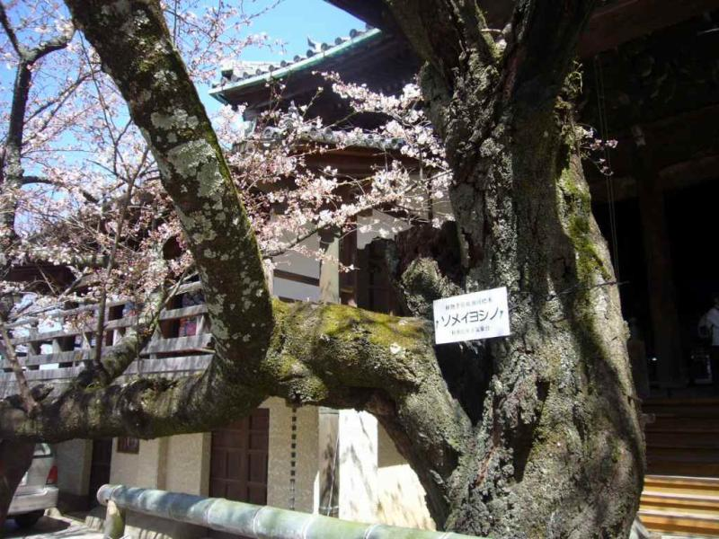 ソメイヨシノ 標本木
