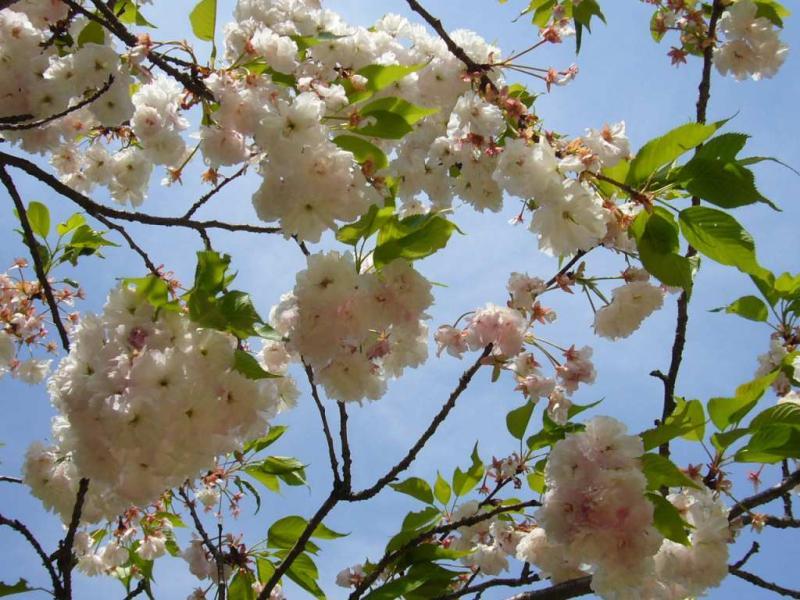 施福寺 桜