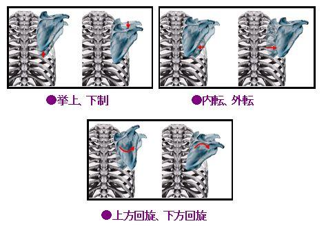 肩甲骨の関節運動