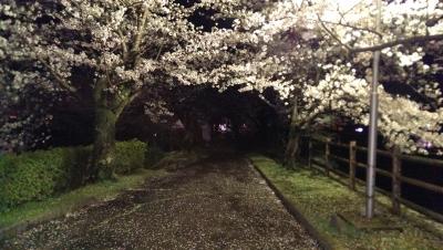 Sakura-20140404A.jpg