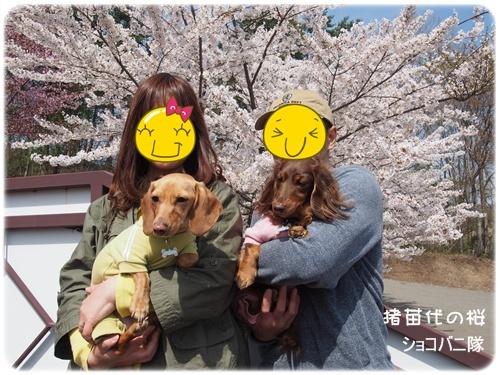 桜とショコバニ