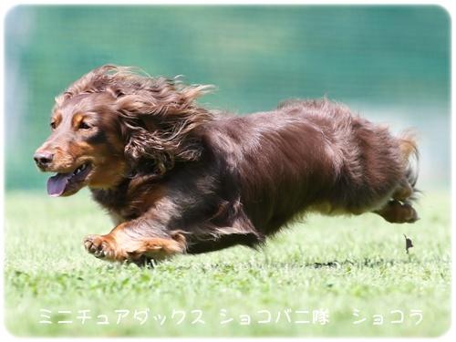 ショコラ飛行犬