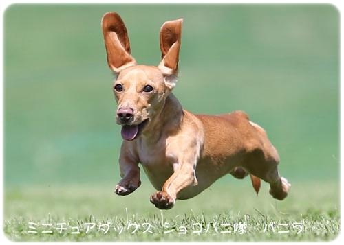バニラ飛行犬