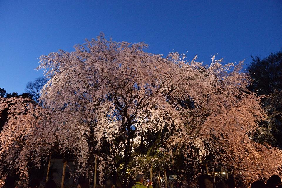 桜満開@夜の陣