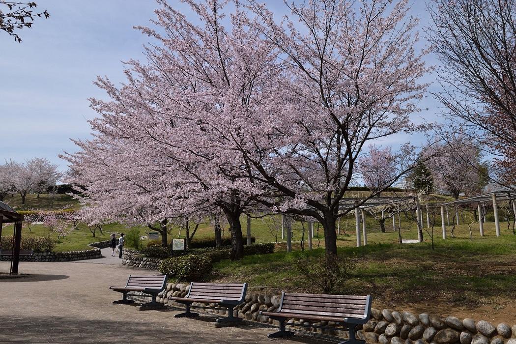甲府盆地・桜