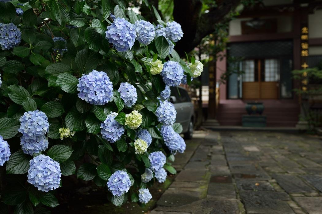 紫陽花おまけ