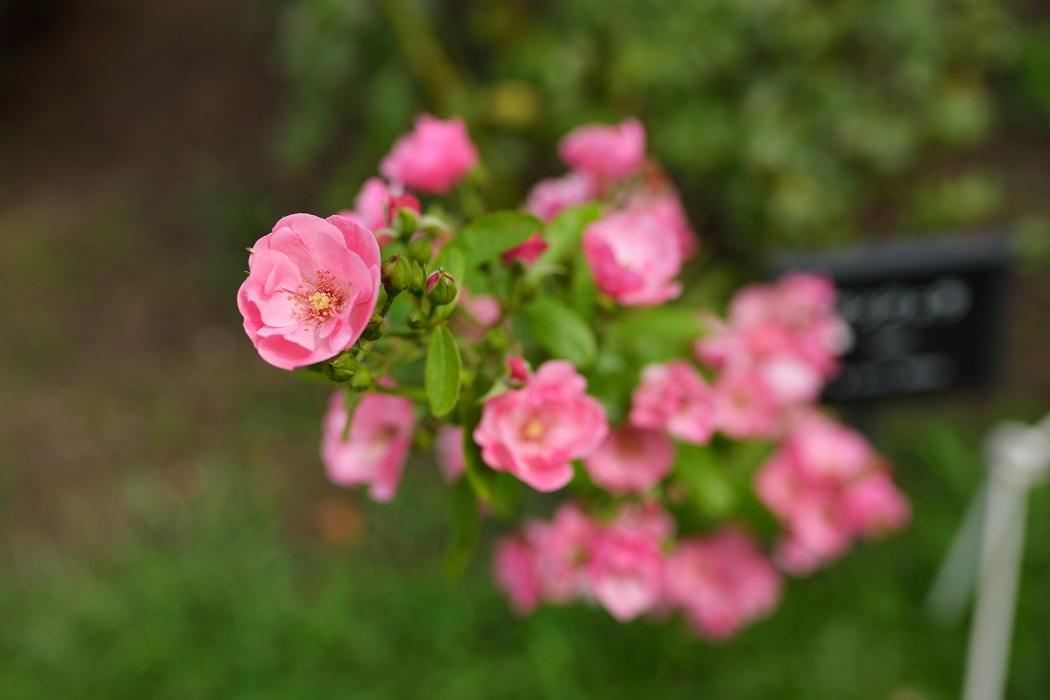 8月のバラ