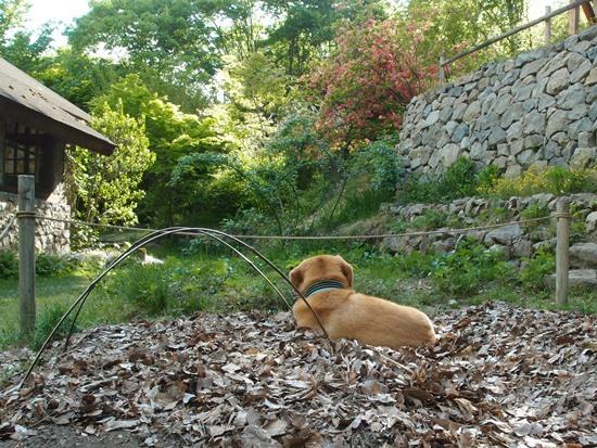 畑犬 (1)