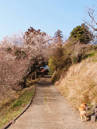 梅のトンネル